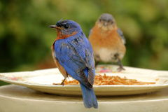 Pares orientais do azulão-americano no alimentador Fotografia de Stock Royalty Free