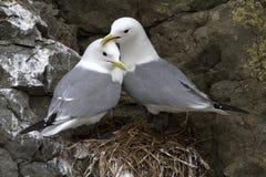 pares Preto-equipados com pernas da gaivota que sentam-se nas rochas próximo Fotografia de Stock
