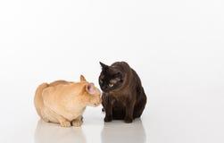 Pares pretos e brilhantes dos gatos burmese de Brown Isolado no fundo branco Fotografia de Stock Royalty Free