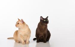Pares pretos e brilhantes dos gatos burmese de Brown Isolado no fundo branco Imagens de Stock