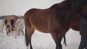 Pares que caminan con los caballos al aire libre en un rancho del país en el invierno Caballos principales del hombre y de la muj almacen de metraje de vídeo