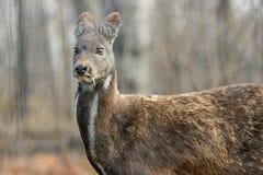 Pares raros animais hoofed Siberian dos cervos de almíscares foto de stock royalty free