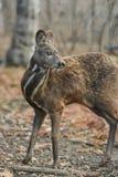 Pares raros animais hoofed Siberian dos cervos de almíscares foto de stock