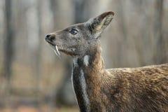 Pares raros animais hoofed Siberian dos cervos de almíscares fotografia de stock