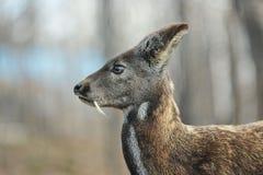 Pares raros animais hoofed Siberian dos cervos de almíscares imagem de stock
