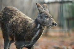 Pares raros animais hoofed Siberian dos cervos de almíscares fotografia de stock royalty free