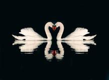 Pares románticos de cisnes Fotos de archivo