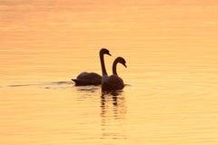 Pares románticos de cisnes Foto de archivo libre de regalías
