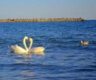 Pares románticos de cisnes en el mar Fotos de archivo libres de regalías