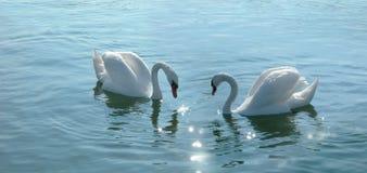 Pares románticos de los cisnes Fotos de archivo