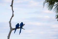 Pares selvagens da criação de animais de Hyacinth Macaws Perching na árvore inoperante Fotografia de Stock Royalty Free