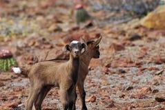 Pares selvagens de cabras bonitos do bebê em Aruba Imagem de Stock