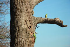 Pares selvagens do papagaio em um fundo azul Imagens de Stock Royalty Free