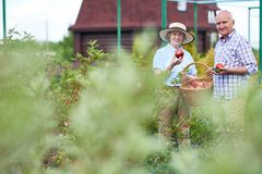 Pares superiores orgulhosos com os legumes frescos no jardim imagem de stock royalty free