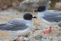 Pares Swallow-tailed da gaivota Imagens de Stock