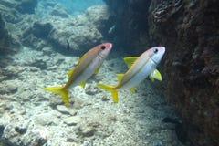 Pares tropicales de los pescados jawfish Imagenes de archivo