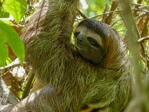 Paresse bottée avec la pointe du pied par trois en Costa Rica photos libres de droits