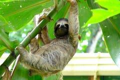 Paresse en le Costa Rica Photographie stock