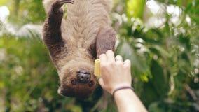 Paresse de alimentation de main humaine avec du maïs dans le zoo en parc national en Thaïlande Photo stock