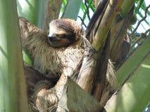 Paresse, mammifères d'Amérique centrale Image libre de droits