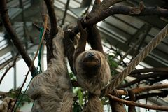 Paresse paresseuse accrochant sur l'arbre et regardant fixement Photos libres de droits