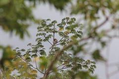 Paresse sur l'arbre de Cecropia Image stock