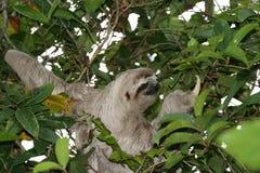 Paresse sur un arbre Photographie stock libre de droits