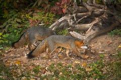 Paret av den Grey Fox Urocyon cinereoargenteusen går rätt Fotografering för Bildbyråer