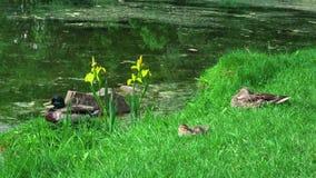 Paret av den lösa naturen duckar fågeln som i stillhet tätt sitter på grönt gräs i solen vid dammvatten i djur zoo i 4k upp arkivfilmer