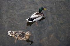 Paret av gräsandet duckar simning i floden royaltyfri bild