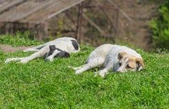 Paret av tillfällig hundkapplöpning kopplar av under den varma solen Fotografering för Bildbyråer