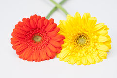 paret blommar röd yellow för gerbera Arkivbild