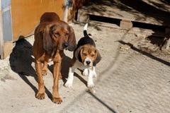 paret dogs två Arkivbild