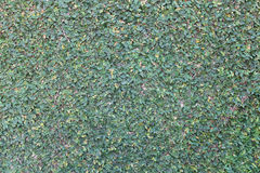 Parete con le foglie, foglie in una parete Fotografie Stock Libere da Diritti