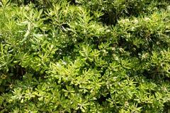 Parete coperta di foglie verdi e di fiori bianchi Sfondo naturale Struttura fotografie stock