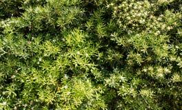 Parete coperta di foglie verdi e di fiori bianchi Sfondo naturale Struttura immagine stock