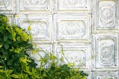 Parete d'annata delle mattonelle grige antiquate del cemento coperte di uva selvaggia verde Immagine Stock
