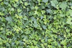 Parete del fondo delle foglie verdi nell'estate di primavera fotografie stock libere da diritti