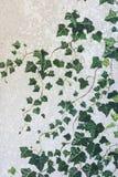 Parete del palazzo del castello invaso con le piante dell'edera Fotografie Stock Libere da Diritti