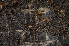 Parete dell'edera Fotografia Stock Libera da Diritti