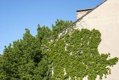 Parete della Camera con le piante rampicanti Immagini Stock
