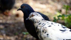 Parete della colomba in foresta Fotografia Stock