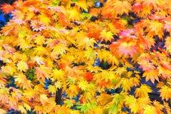 Parete delle foglie di acero del BM Wilson Yellow Fotografie Stock Libere da Diritti