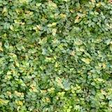 Parete delle foglie verdi Fotografia Stock Libera da Diritti