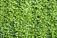 Parete delle foglie verdi Immagini Stock Libere da Diritti