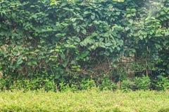 Parete delle foglie verdi Fotografie Stock Libere da Diritti