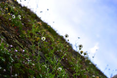 Parete delle margherite con un cielo blu Fotografia Stock Libera da Diritti