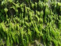 Parete di alga Immagini Stock Libere da Diritti