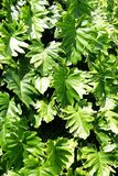 Grandi foglie verde-cupo Fotografie Stock