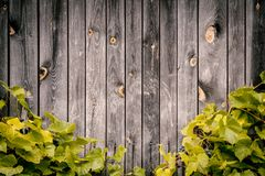 Parete di legno con le foglie verdi dell'uva Immagini Stock